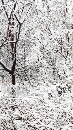 Trees covered with snow after heavy snowfall.