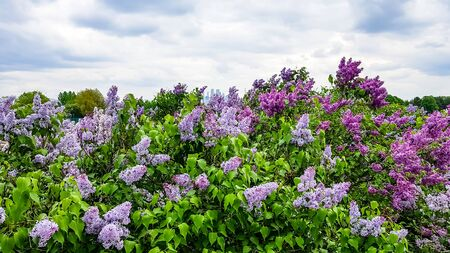 The lilac bushes against the backdrop of urban houses. Banco de Imagens