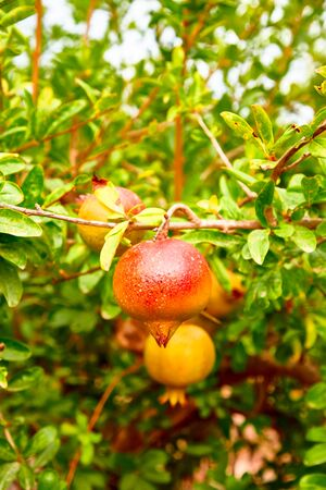 Young pomegranate fruits grow on a tree. Archivio Fotografico - 129477216