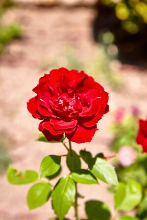 Rose flower on a Bush on a background of stones Archivio Fotografico - 129477229