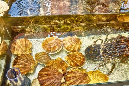 Shells scallop and oysters are in the aquarium on the counter of the store Stock Photo