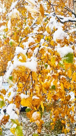 The first snow. Yellow and green leaves covered with snow. Фото со стока