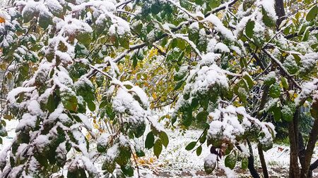 The first snow. Yellow and green leaves covered with snow. Reklamní fotografie
