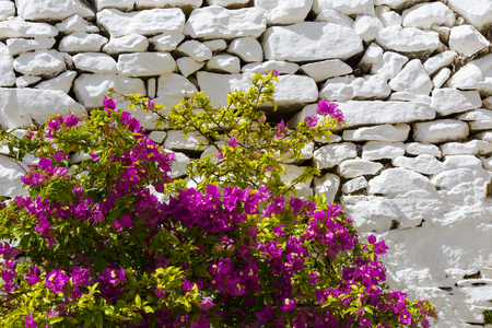 Flowers and a whitewashed dry stone wall in Ano Syros village on Syros island. Banco de Imagens