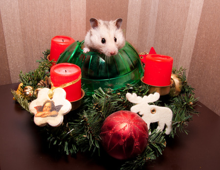 sneaking: Little grey hamster sneaking  in christmas tree decoration Stock Photo