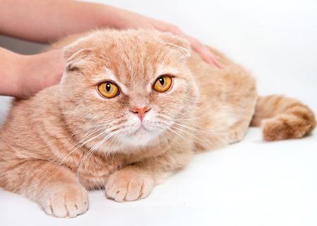 okşayarak: izole büyük kırmızı kedi okşayarak Stok Fotoğraf