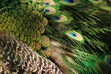 birdlife: a closeup of peacock plumage Stock Photo