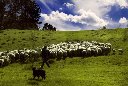 pasen schaap: Shepherd walks along the sunny meadow with his dog and herd of sheep. Stockfoto