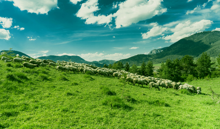 pasen schaap: Sheep grazing on a green meadow during a sunny day.