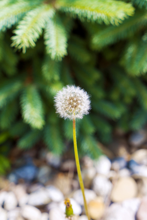 Ripe dandelion with spruce in the background.