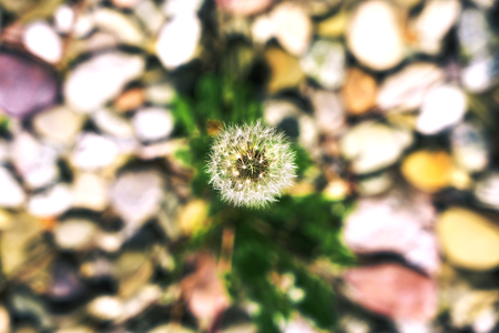 Ripe dandelion with stones in the background. Stock fotó