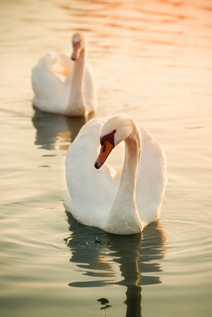 Two swans on a river