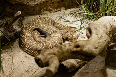 Rattlesnake laying coiled in Zoo. Stock Photo