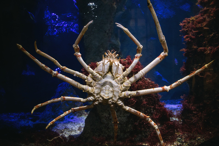 Giant sea spider at aquarium in Zoo. Stock Photo