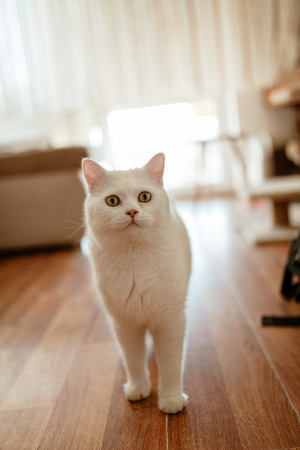 White beautiful cute cat standing at the living room floor and waiting for something.