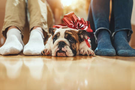 Close up on legs of a young couple and their little puppy who is lying down on the floor with a ribbon on its neck.. Stok Fotoğraf
