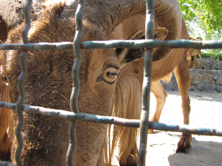 wild goat animal in box of zoo and brown eye
