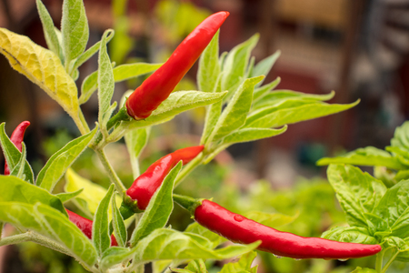 Chili hot pepper plant with few red ripe spicy vegetables and green leaves small tree bush growing at house balcony. Home gardening Stock Photo