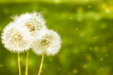 Three white full blowballs dandelions on a green field background. Copyspace. Soft focus.