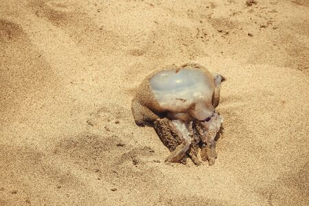 Big jellyfish laying in yellow dry sand on summer beach. Close-up. Top view. Copyspace