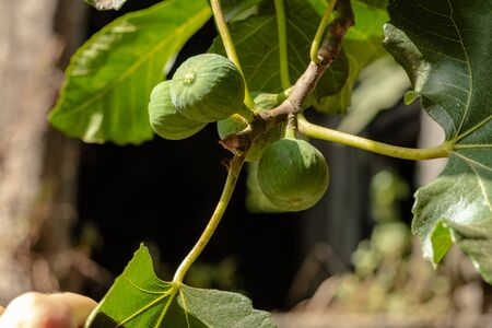 Green unripe figs growing on a tree in Italy, Campania