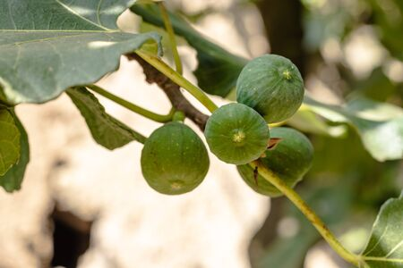 Green fig fruits growing on tree branches with green leafs. Archivio Fotografico