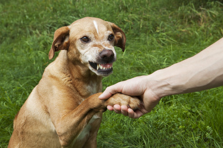 Unfriendly hand and paw shake. A brown dog in the grass. Stock Photo