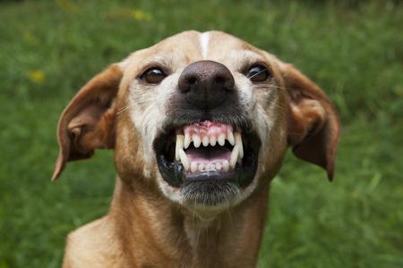Vicious brown dog. Threatening jaws. Stock Photo