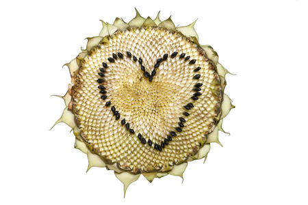 sapless: Sunflower head isolated on a white background. Heart shape made from the seeds.