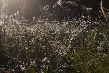 dewy: Foggy autumn morning in a meadow. A dewy spiderweb.