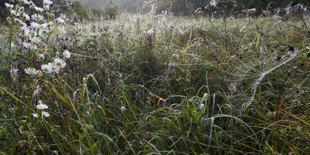 dewy: Meadow on a foggy autumn morning with white wild flowers and a dewy spiderweb.