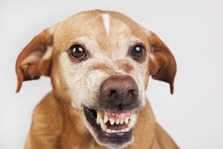Gros nez dans le visage de chien hostile. Expression vicieuse. Banque d'images