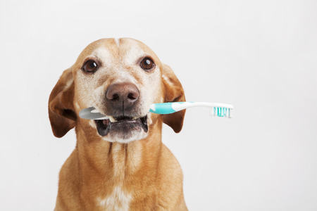 Brown dog holding a toothbrush on a bright background. Health care. Stock Photo