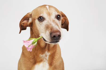 Brown dog with pink rose in its mouth.  On the bright background. Reklamní fotografie
