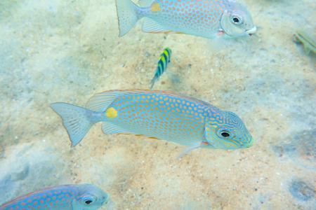 fondali marini: Pesce di mare a poco profondo dei fondali marini