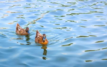 couple of Blown duck swinning on the blue water