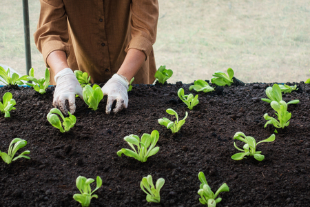 Worker sapling salad vetable in the green house Stock Photo