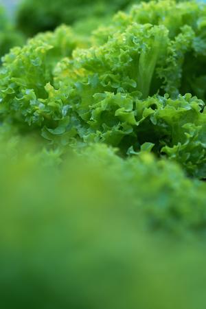 Selective focus of Fresh green Lettuce on vegertable farm Stockfoto