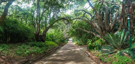 Walk way through the huge tree at botanical garden in kirstenbosch cape town south africa