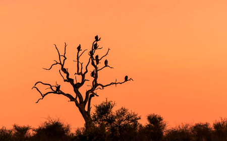 Beautiful sunset and sunrise savannah field with silhouette vultures perching on dry tree