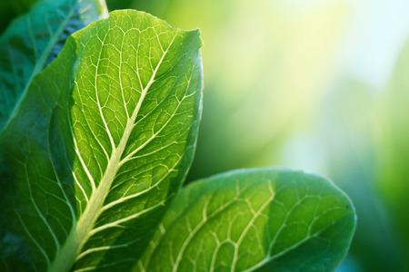 Selective focus of Fresh green Cos on vegertable farm Stockfoto