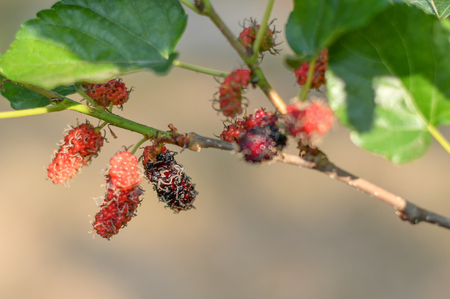 selective focus black ripe and red unripe mulberries on the branch of tree