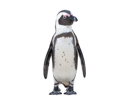South Africa Penguins in the Boulders Beach Nature Reserve. Cape Town, South Africa , isolate on white backgroud with clipping path Stockfoto