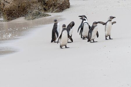 South Africa Penguins in the Boulders Beach Nature Reserve. Cape Town, South Africa
