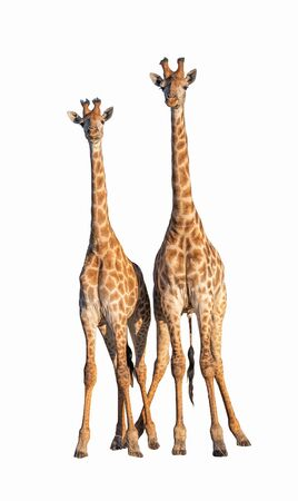 Couple Giraffes isolated on white with Clipping parth Foto de archivo