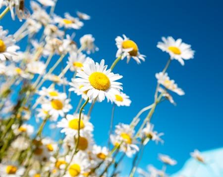 Wei�e G�nsebl�mchen auf Hintergrund des blauen Himmels Lizenzfreie Bilder