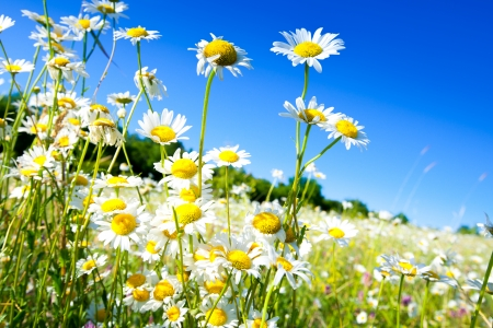 White daisies on blue sky background Stock Photo