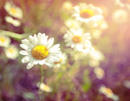 White daisie
