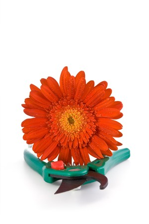 pruning scissors: Red gerbera whis drops and green clipper