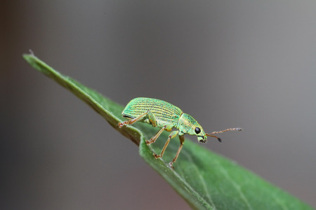 phyllobius: Green bug sits on a leaf Green Immigrant Weevil